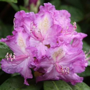 Rhododendron hybride 'Alfred'