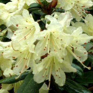 Rhododendron hanceanum 'Princess Anne'