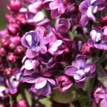 Syringa vulgaris 'Arthur William Paul'