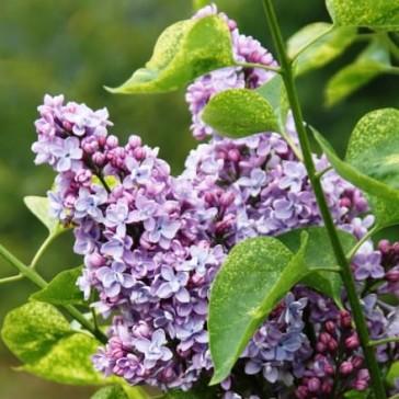 Flieder Syringa vulgaris 'Aucubeafolia'