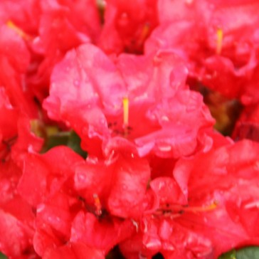 Rhododendron repens 'Baden-Baden'