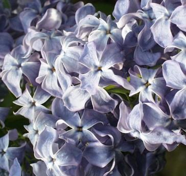 Flieder Syringa vulgaris 'Boule Azurée'