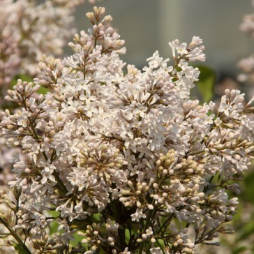 Flieder Syringa hyacinthiflora 'California Rose'