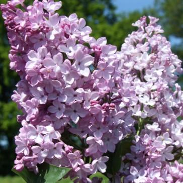 Syringa vulgaris 'Decaisne'