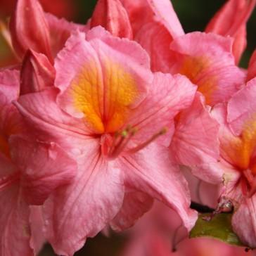 Azalea 'Pink Delight'