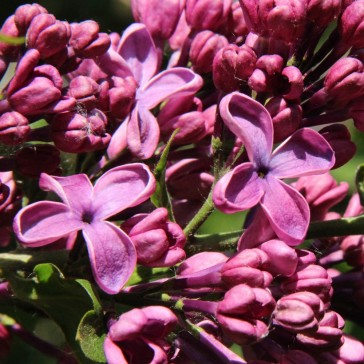 Syringa vulgaris 'Dusk'