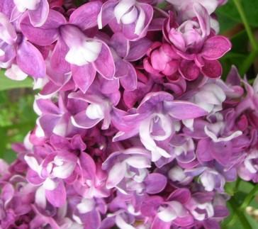 Flieder Syringa vulgaris  'Etoile de Mai'