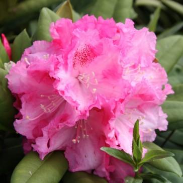 Rhododendron yakushimanum 'Excelsior'