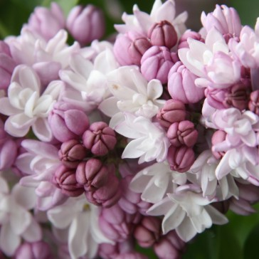 Syringa hyacinthiflora Fantasy