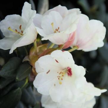 Rhododendron yakushimanum 'Flava Lackblatt'