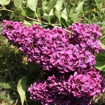Flieder Syringa vulgaris 'Vesper'