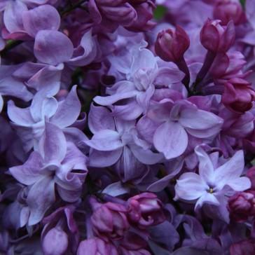 Flieder Syringa vulgaris 'Izobilie'