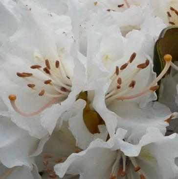 Rhododendron hybride 'Jacksonii'