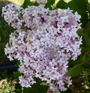 Zwergflieder Syringa microphylla 'Josee'