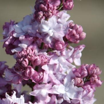 Flieder Syringa vulgaris 'Katherine Havemeyer'
