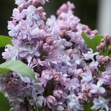 Flieder Syringa vulgaris 'Le Nôtre'