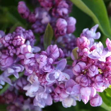 Flieder Syringa vulgaris 'Marshal Vasilevskiy'