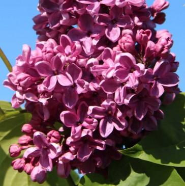 Flieder Syringa vulgaris 'Massena'