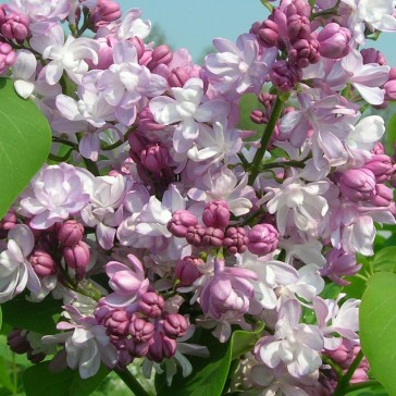 Flieder Syringa vulgaris 'Mme Antoine Buchner'
