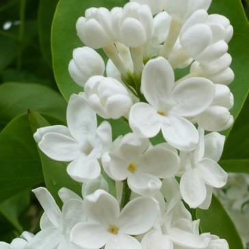 Flieder Syringa vulgaris 'Mme Florent Stepman'
