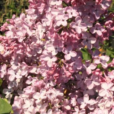 Flieder Syringa vulgaris 'Mme F. Morel'