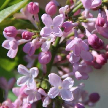 Flieder Syringa hyacinthiflora 'Necker'