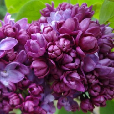 Flieder Syringa vulgaris 'Paul Thirion'