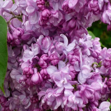 Flieder Syringa vulgaris 'General Pershing'