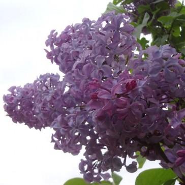 Flieder Syringa vulgaris 'Princesse Sturdza'