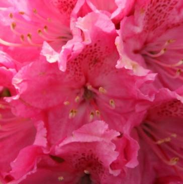 Rhododendron hybride 'Rocket'