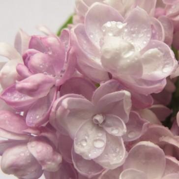Flieder Syringa vulgaris 'Rustica'
