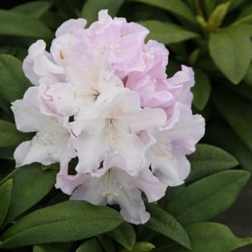 Rhododendron Yakushimanum 'Hoppy'