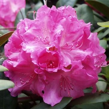 Rhododendron Yakushimanum 'Lumina'
