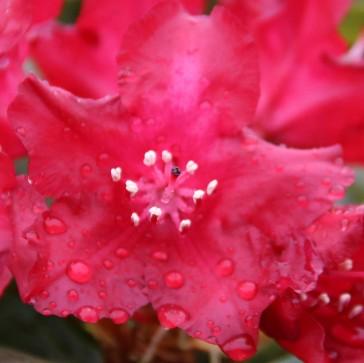 Rhododendron hybride 'Sammetglut'