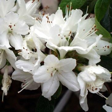 Rhododendron yakushimanum 'Schneewittchen'