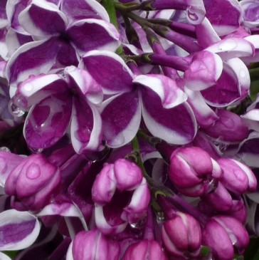 flieder syringa vulgaris 39 sensation 39 purpurrote flieder. Black Bedroom Furniture Sets. Home Design Ideas
