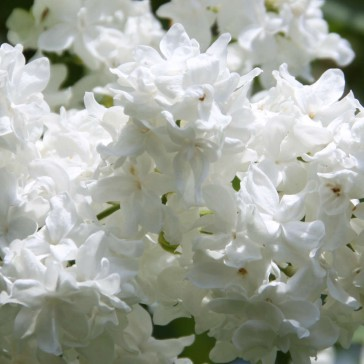 Flieder Syringa vulgaris 'Sovetskaya Arktika'