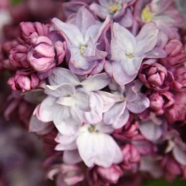 Flieder Syringa vulgaris 'Taras Bulba'