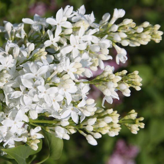 flieder syringa hyacinthiflora 39 angel white 39 flieder. Black Bedroom Furniture Sets. Home Design Ideas