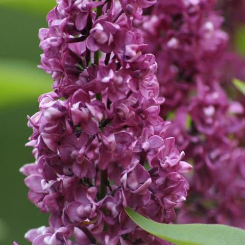 flieder syringa vulgaris 39 charles joly 39 purpurrote. Black Bedroom Furniture Sets. Home Design Ideas