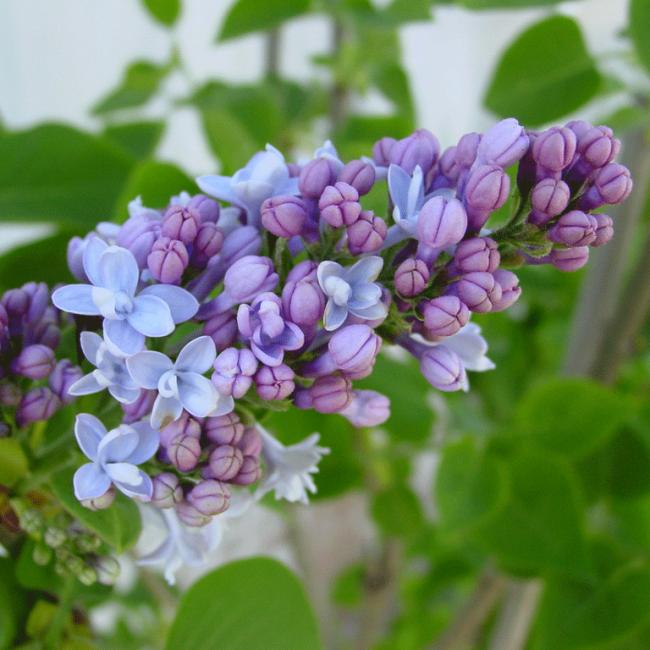 flieder syringa vulgaris 39 carpe diem 39 lila flieder. Black Bedroom Furniture Sets. Home Design Ideas