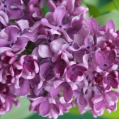 Syringa vulgaris 'Alexey Maresjew'