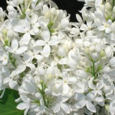 Flieder Syringa hyacinthiflora 'Angel White'