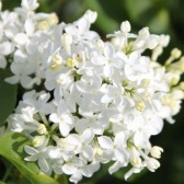 Syringa hyacinthiflora 'Mount Baker'