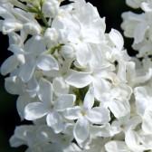 Syringa vulgaris 'Prinses Beatrix'