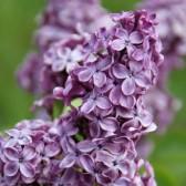 Syringa vulgaris 'Edmond Boissier'