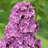 Syringa vulgaris 'Dark Koster'