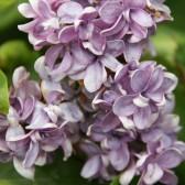 Syringa vulgaris 'Dobeles Sapnotajs'