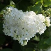 Flieder Syringa vulgaris 'Mme Felix'