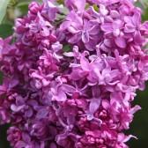 Syringa vulgaris 'Mrs Edward Harding'